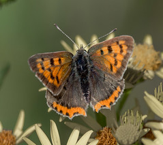 N S August 2019 Small Copper 2