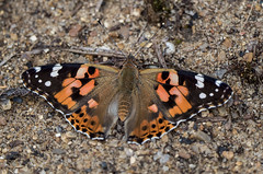 N S August 2019 Painted Lady