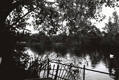 Kensington Gardens (goodfella2459) Tags: nikonf4 afnikkor24mmf28dlens ilfordpanfplus50 35mm blackandwhite film analog london park gardens kensingtongardens water swan bwfp