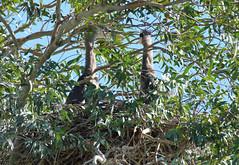 Great Blue Heron Chicks (Ardea herodias); Tucson, AZ, Christopher Columbus Park [Lou Feltz] (deserttoad) Tags: bird wildbird wader heron wildlife nature arizona fauna water park tree nest young behavior