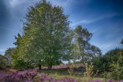 Westleton Common (Osgoldcross Photography) Tags: trees summer sky sun nature leaves landscape leaf nikon raw purple heather naturalhistory heath common rowan rowantree d850 nikond850 westletoncommon