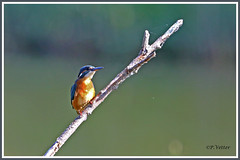 Martin-pêcheur 190821-02-P (paul.vetter) Tags: oiseau ornithologie ornithology faune animal bird martinpêcheur alcedoatthis eisvogel kingfisher