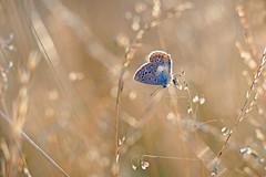 A hidden summer beauty. (ej - light spectrum) Tags: butterfly schmetterling butterflies papillon farfalla macro makro macrophotography olympus omd em5markii mzuiko summer sommer 2019 backlight