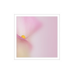 Calla Lily (Stan Farrow Photography) Tags: calla lily pink abstract blur soft flower