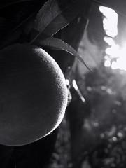Peach. Monochrome. Macro. Light and shadow. (ALEKSANDR RYBAK) Tags: персик фрукт спелый монохромный чёрное белое крупный план свет тень лето сезон листва ворсинки детали peach fruit ripe monochrome black white closeup shine shadow summer season foliage villi details macro