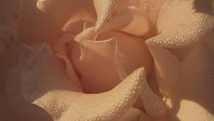 Drops of dew on rose petals. Light and shadow. Macro. (ALEKSANDR RYBAK) Tags: роза цветок лепестки цвести капли роса вода крупный план свет тень нежность лето сезон утро rose flower petals blossom drops dew water closeup shine shadow tenderness summer season morning solar macro солнечный макро