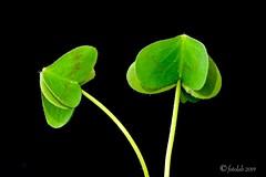 """""""Un par.... de tréboles """" (EFD-fotolab) Tags: plantas naturaleza nikond610 nikkor105mm nikon macrofotografia macro unpar lookingcloseonfriday trébol"""