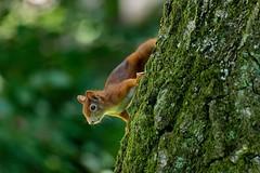 I want your Nuts | (Off for a view days) (picsessionphotoarts) Tags: nature germany bayern deutschland bavaria nikon squirrel natur franconia franken nürnberg eichhörnchen nikonphotography nikond850 afsnikkor200500mmf56eedvr inamabilissciurus bokeh wald