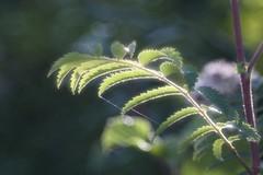 幽玄 / Yūgen       SOM Berthiot Perigraphe  1 : 6.8  F 150  Série VI (情事針寸II) Tags: oldlens bokeh light nature leaves feuilles somberthiotperigraphe168f150sérievi