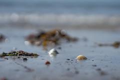 Beach Life (jillyspoon) Tags: beach shelf sand wetsand seaweed scotland coast coastal seaside macro sony sonya7iii sonyalpha southwestscotland blue water ocean sof dof de monreith bokeh