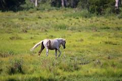 Wild Pony and Bird (Ken S Three) Tags: pony wild nature chincoteague assateague