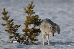 Weely Coyote (Hammerchewer) Tags: coyote male animal wildlife outdoor snow pine