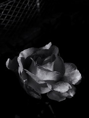 Morning dew on rose petals. Monochrome. Macro. (ALEKSANDR RYBAK) Tags: роза цветок цвести макро крупный план монохромный свет тень чёрное белое лето сезон rose flower blossom macro closeup monochrome shine shadow black white summer season лепестки petals