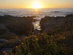 8/14/19 19:49 (joncosner) Tags: stars3 2019 california flora flowers monterey norcal pacificgrove sunset