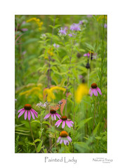 Painted Lady (baldwinm16) Tags: nature outside outdoors illinois midwest native august il prairie forestpreserve summer butterfly season insect coneflower wildflower prairieplants paintedlady natureofthingsphotography