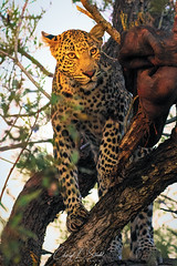 Leopard with Kill (cheryl strahl) Tags: africa southafrica sunset leopard male tom kill tree timbavatinaturereserve krugernationalpark