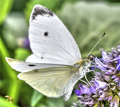 Cabbage White Butterfly Loves Purple (Vidterry) Tags: butterfly cabbagewhite nikond500 nikkor200mmmicro 13200 f10 iso1600 ev23