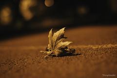 Stolen Love (gergely.t.springer) Tags: budapest budaörs hungary magyarország nikon d3500 f18 50mm leaf night dark art light simplicity nature