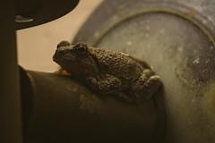 A7_03076 (TeeHeeHaw) Tags: a7iii frogs amphibian cute animal