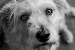 Su mirada (irebrig) Tags: black white ojos retrato portrait dog