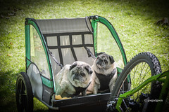 DSC4566Acr (Photos Just for Fun) Tags: dogs pugs animals cute bicycle cart green pets