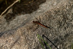 winGed (walter.innes) Tags: walterinnes darters dragonflies damselflies scotstownmoor aberdeen springwatch