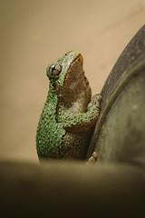 A7_03103 (TeeHeeHaw) Tags: a7iii frogs amphibian cute animal