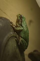 A7_03060 (TeeHeeHaw) Tags: a7iii frogs amphibian cute animal