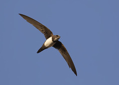 Alpine Swift (apus melba) (Steve Ashton Wildlife Images) Tags: alpine swift alpineswift apus melba apusmelba