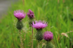 The four tops (worldthroughalens74) Tags: thistles purple wildflowers verge uk england staffs nature outdoors canon sigma