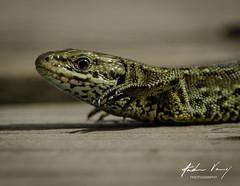 Common Lizard (andrew.varney) Tags: farnham hindhead thursleynaturereserve lizard reptile nature wildlife nikon surrey d5100 animals