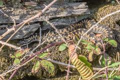 Adder (Matchman Devon) Tags: adder viper berus ayrmer cove ringmore south hams devon
