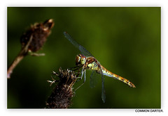 Common Darter Dragonfly (pete #hwcp) Tags: depthoffield hwcp butterfly nikonp1000 summer wickedweasel common darter dragonfly