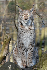 Eurasian lynx - Zoo Duisburg (Mandenno photography) Tags: animal animals dierenpark dierentuin dieren duitsland duisburg zoo zooduisburg eurasian european luchs lynx cat cats bigcat big ngc nature natgeo natgeographic discovery bbcearth