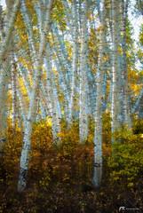 Aspen Palette (James Korringa) Tags: aspen trees artistic colorado