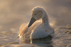 'New Wave' (Jonathan Casey) Tags: cygnet swan baby cute young norfolk whitlingham broads lake water wildlife jonathan casey photography nikon d850 400mm f28 vr