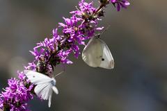 Papillon (clamar18) Tags: canal insecte mery papillon butterffly fleurs blanc france