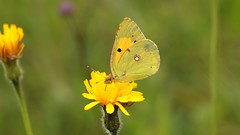 Clouded yellow ~ Colias croceus {explored} (Cosper Wosper) Tags: coliascroceus cloudedyellow shapwick somerset