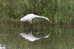Great White Egret (kevin_livesey) Tags: white egret great meresandswood