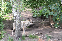 Grå ulv, Wolf, Wolf (Canis lupus) -0136 (Kenneth Gerlach) Tags: canislupus copenhagen gråulv københavn summer ulv wolf zoo