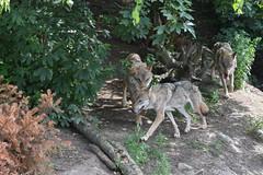 Grå ulv, Wolf, Wolf (Canis lupus) -0144 (Kenneth Gerlach) Tags: canislupus copenhagen gråulv københavn summer ulv wolf zoo