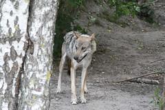 Grå ulv, Wolf, Wolf (Canis lupus) -1504 (Kenneth Gerlach) Tags: canislupus copenhagen gråulv københavn summer ulv wolf zoo