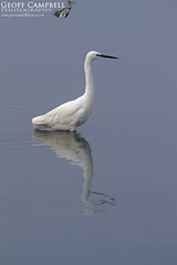 Little Egret (Egretta garzetta) (gcampbellphoto) Tags: little egret egretta garzetta heron avian bird nature wildlife wexford ireland gcampbellphoto