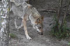 Ulf, Wolf (Kenneth Gerlach) Tags: canislupus copenhagen gråulv københavn summer ulv wolf zoo