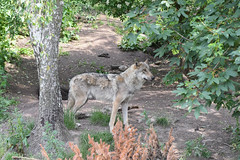 Grå ulv, Wolf, Wolf (Canis lupus) -0141 (Kenneth Gerlach) Tags: canislupus copenhagen gråulv københavn summer ulv wolf zoo
