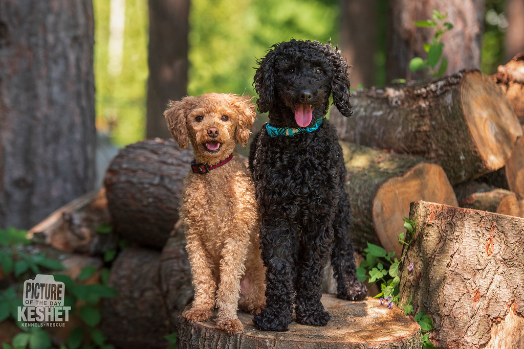 The World's Best Photos of miniature and poodle - Flickr