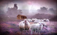 Among The Heather (jarr1520) Tags: landscape nature morning sun fog mist sheep lamb heather farm animals
