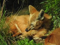Photo of Maned Wolves