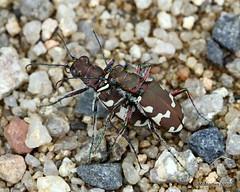 IMG_2010X. Dune Tiger Beetle (Cicindela hybrida) (Nick Ransdale) Tags: cicindelahybrida dunetigerbeetle