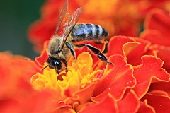 Bees Knees (JaaniicB) Tags: canon 77d eos 100mm f28 macro bee nature flower nectar honey summer gather fly work red yellow bug